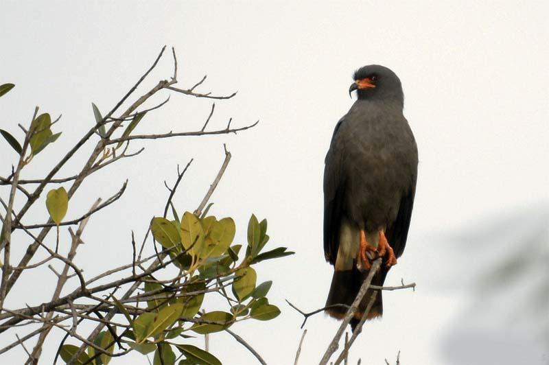 Gavião-caramujeiro - Rostrhamus sociabilis
